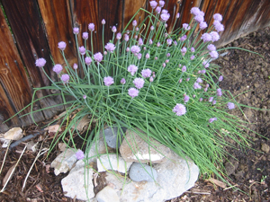 Chives grown at Father Earth Organic Farm