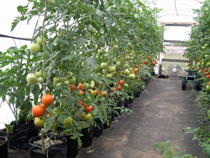 Full grown tomato plants Hoophouse