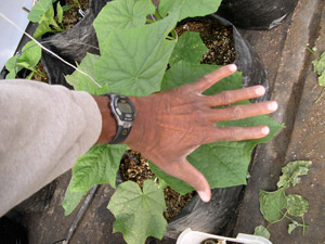 Leaf of cucumber plant in Hoophouse. Large leaves produce great cucumbers.