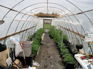 Inside Hoophouse: tomato plants in grow bags