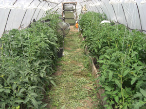 Young tomato plants in hoop house