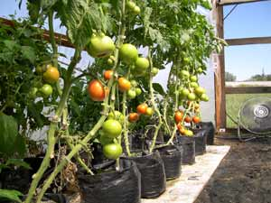 Tomatoes ripening in hoop house